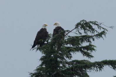 We spotted this pair of Bald Eagles as we cruised by on a wildlife and glacier cruise from Valdez