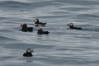 Puffins on the Columbia Glacier Cruise from Valdez