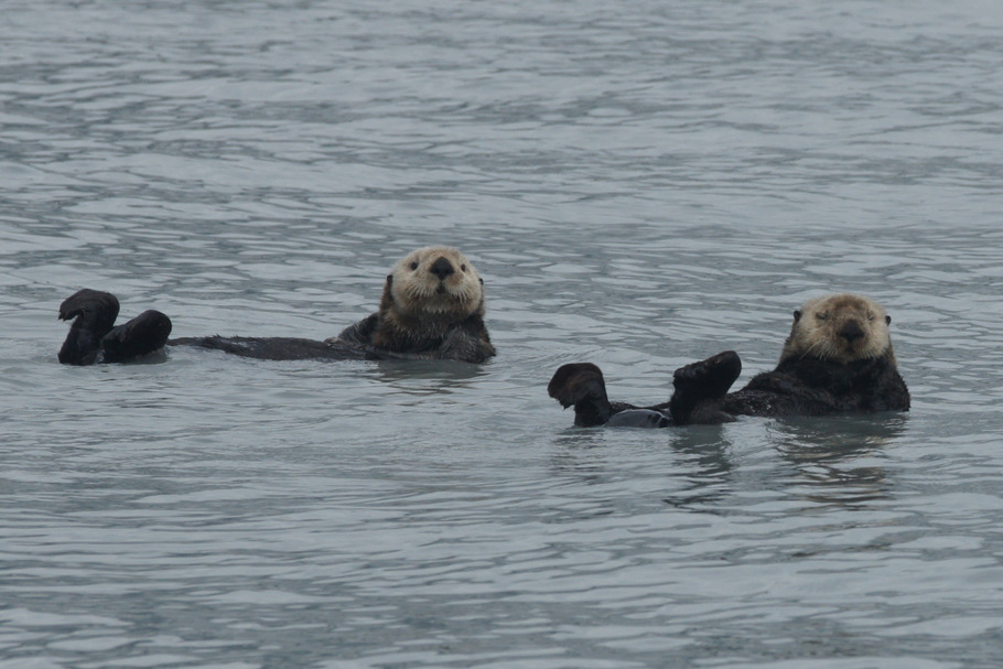 Two Sea Otters Valdez