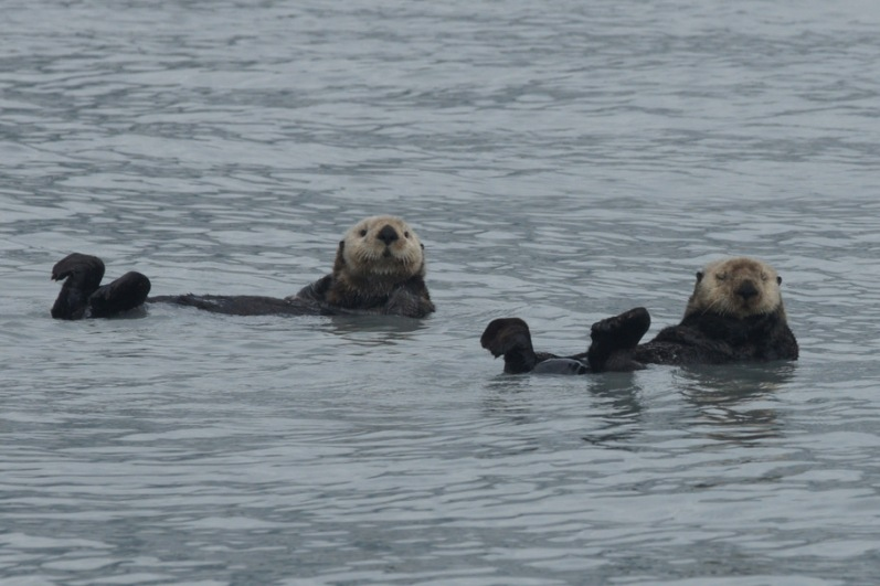 Sea Otters on Columbia Glacier tour from Valdez