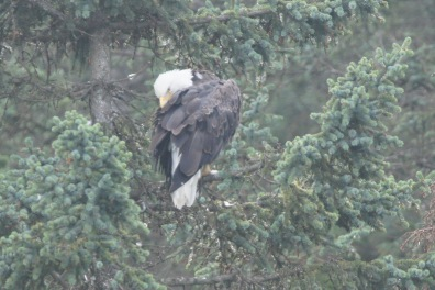 A Bald Eagle was pruning while we watched the mama bear