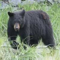 Favorite Alaska and Canada Wildlife Photos