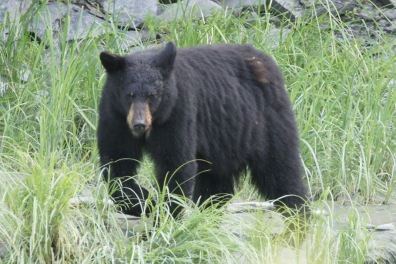 Mama bear looking for more fish near Valdez