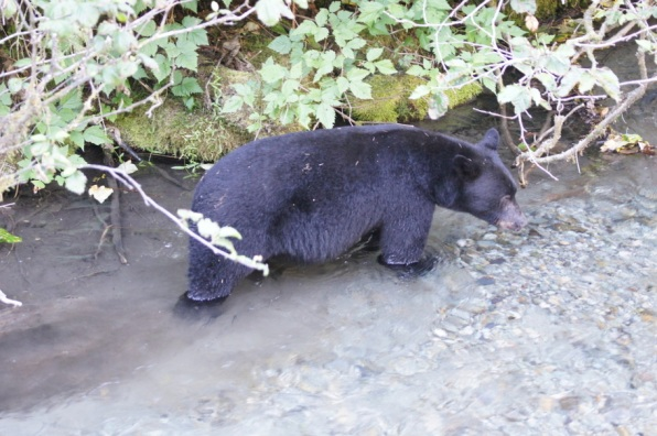 Black Bear fishing for salmon in Hyder, Alaska