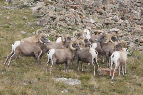 Big Horn Sheep on Trail Ridge Road