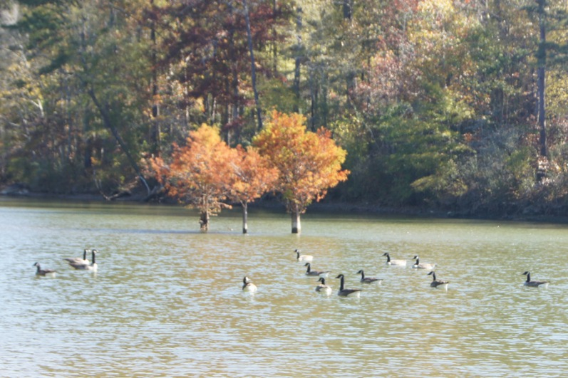 Gathering of geese behind our campsite