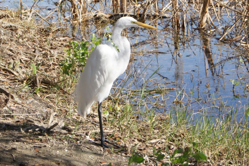 Egret at Salt Springs, January, 2013