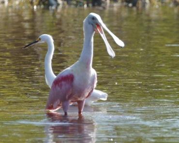 Spoonbill and Egret at Mrazek Pond, Everglades National Park 2012