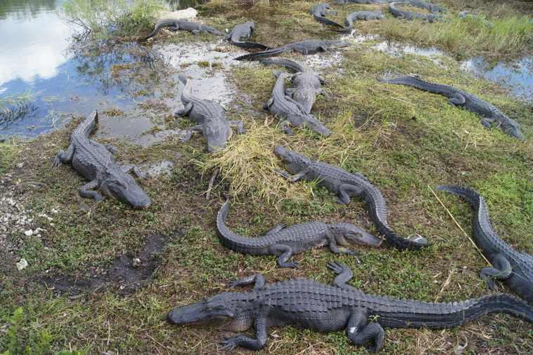 Alligators along the Anhinga Trial, Everglades National Park 2012