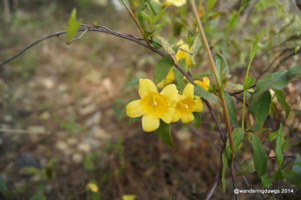 Carolina Jasmine was in full bloom