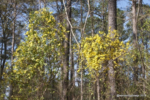 Carolina Jasmine drapes many of the trees