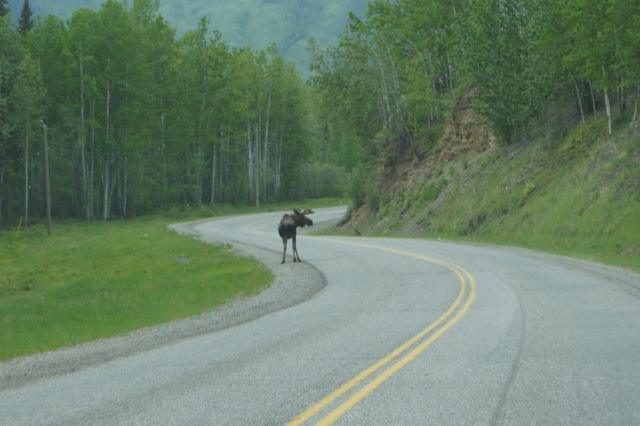 Moose on the Alaska Highway