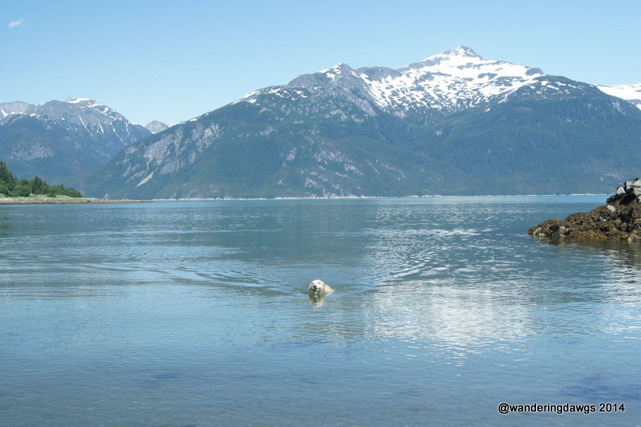 Blondie is one happy dog swimming in Haines, Alaska