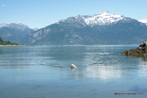 Blondie is one happy dog swimming in Haines, Alaska