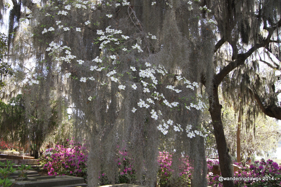 Spanish Moss covered Dogwood Tree beside Azalea lined path