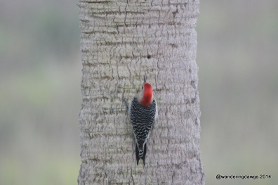 Red-bellied Woodpecker on Palm Tree