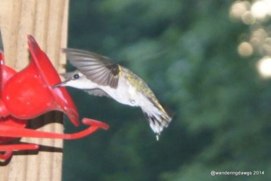 Ruby Throated Hummingbird Taking a Drink