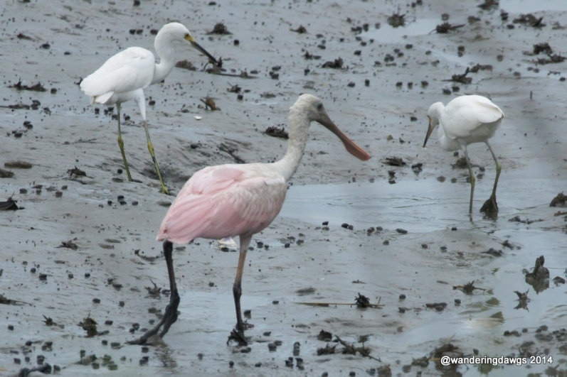 Roseate Spoonbill with 2 young juvenile little blue herons in Georgia
