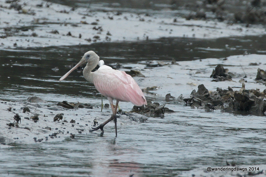 Roseate Spoonbill in Georgia salt water tidal creek