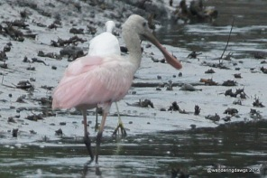 Roseate Spoonbill in Georgia Tidal Creek