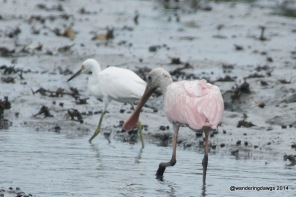 Roseate Spoonbill in Georgia creek