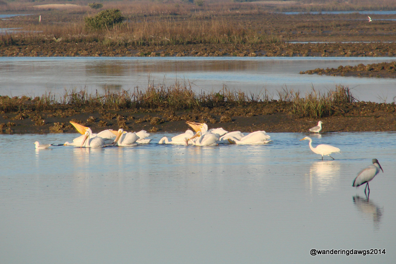 White Pelicans behind Sunset Isle RV Park in Cedar Key, FL