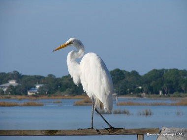 Egret on the deck behind our campsite at Sunset Isle RV Park in Cedar Key, FL