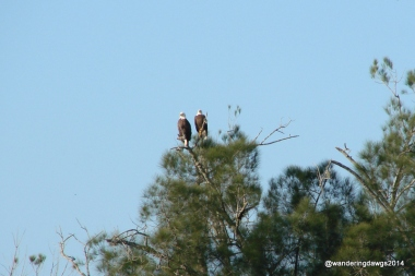 Pair of Bald Eagles across the canal at Ortona