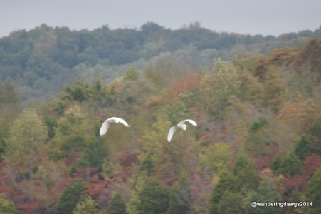 Egrets flying over the lake