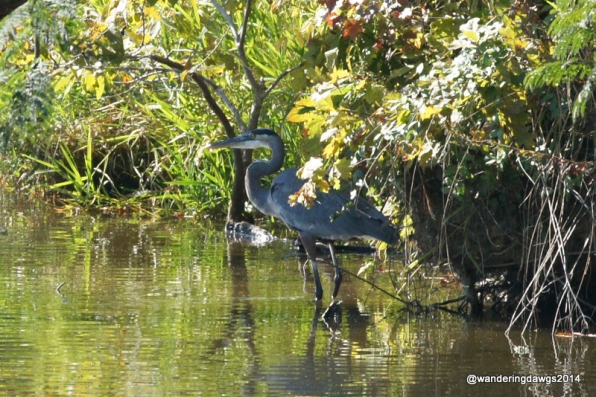 This Great Blue Heron came back to the same spot on the lake each day