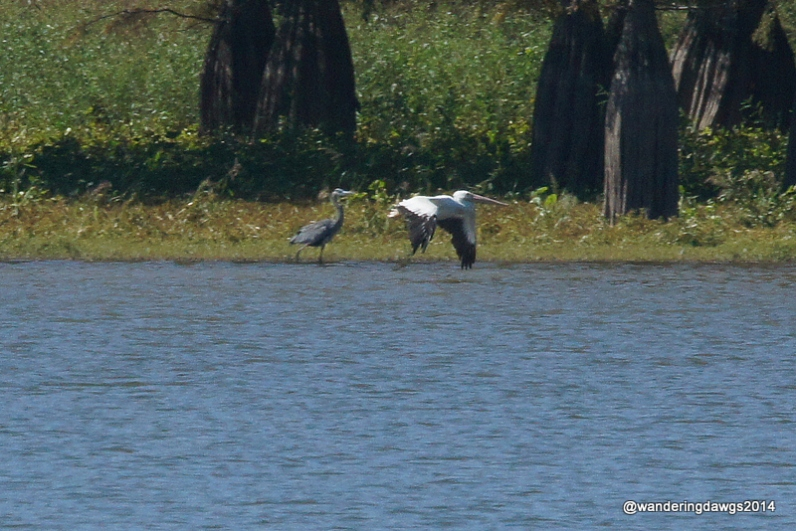 White Pelican flies by blue heron over Lake Chicot