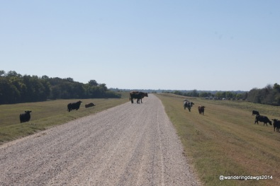 Cows crossing the levee road