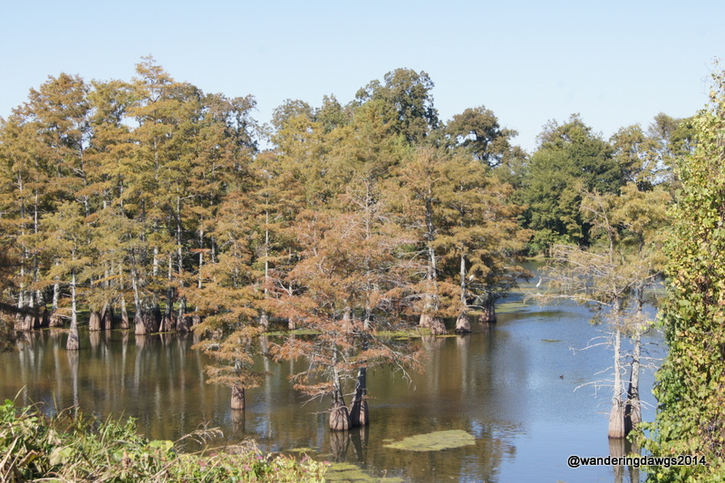 Cypress Trees beside the levee