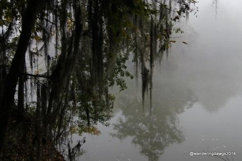 Spanish Moss on a foggy morning