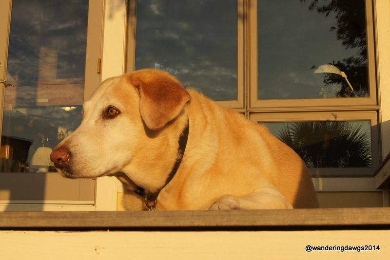 Blondie basking in the morning sun