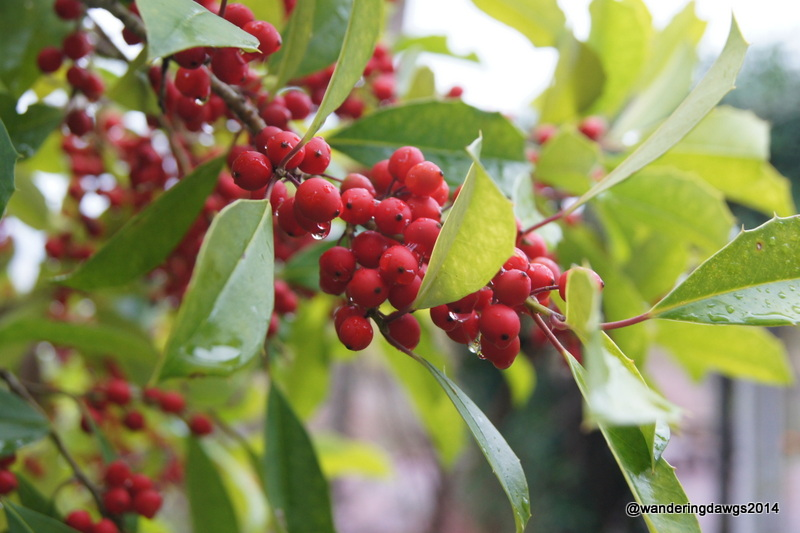 Red berries on green holly