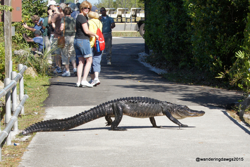 This gator let us know this was his territory as he walked across the path
