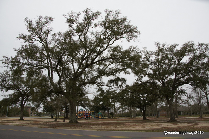 Majestic oaks in the campground