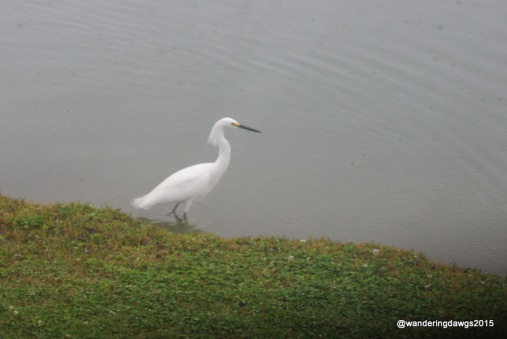 Picture taken through our back window of Snowy Egret behind the camper