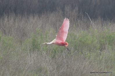 Roseate Spoonbill at Galveston Island State Park