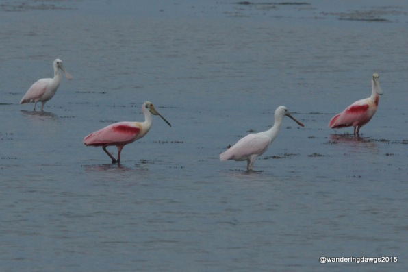 Blondie and I spotted these Roseate Spoonbills in the nature viewing area near our campsite