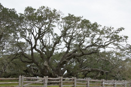 The Big Tree in Goose Island State Park in Texas is a 1000 year old live oak