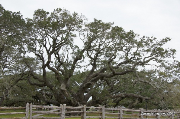 The Big Tree in Goose Island State Park is a 1000 year old live oak