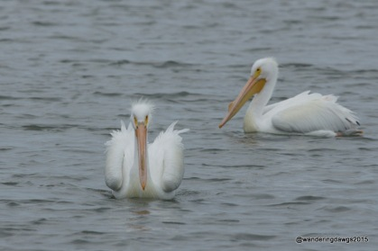 White Pelicans, Goose Island State Park