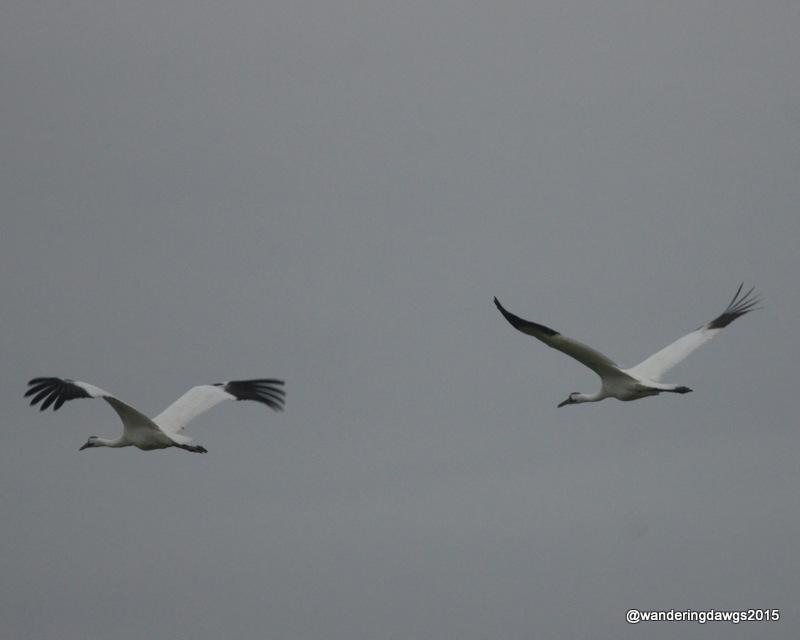 Whooping Cranes in Lamar, Texas