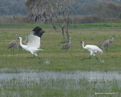Whooping cranes, near Goose Island State Park