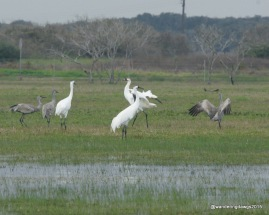 Whooping Cranes and Sandhill cranes near Goose Island State Park