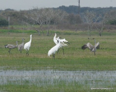 Whooping Cranes and Sandhill cranes share the field