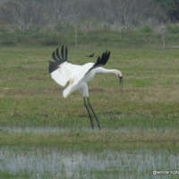 Magnificent Endangered Whooping Cranes