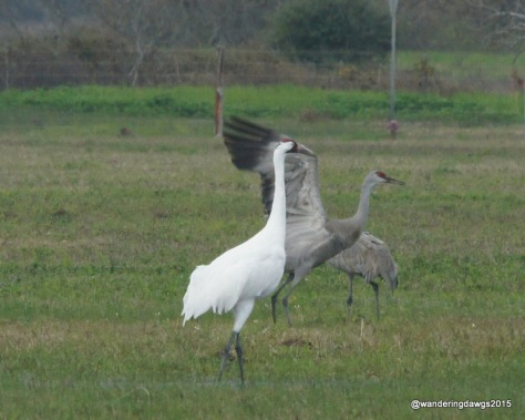 Sandhill crane flapping with a whooper watching